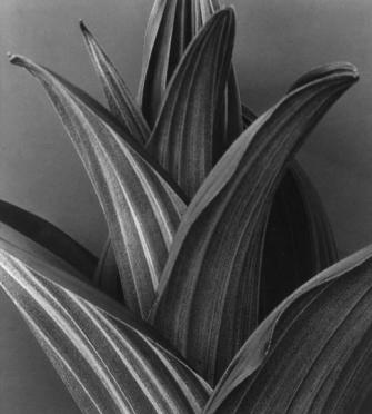 Imogen Cunningham's photographs