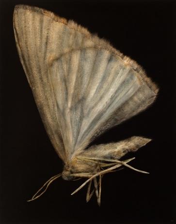 Moth No.2, 2013. Oil on paper. 89m x 70cm.