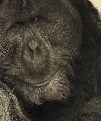 vicky-white-orangutan-5.jpg