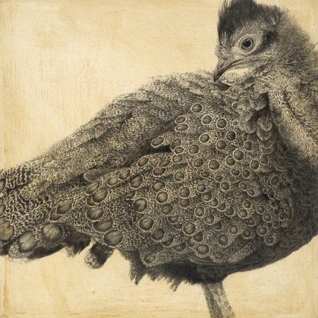 Malaysian Peacock-pheasant I / Polyplectron malacense / 30 x 30 cm / Pencil on panel