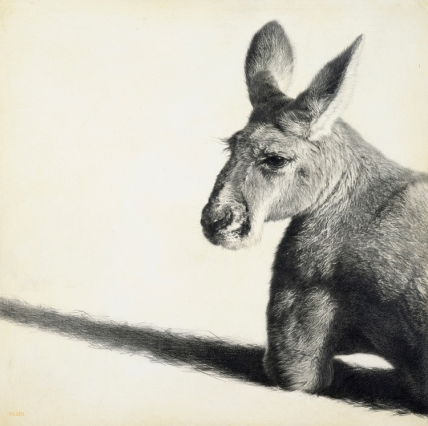 Red Kangaroo II / Macropus rufus / 30 x 30 cm / Pencil on panel