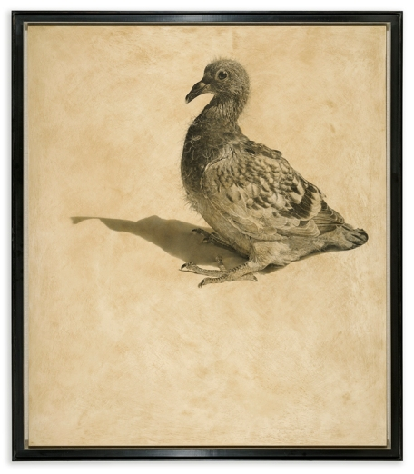 Squeaker / Columba livia domestica / 122 x 104 cm / Pencil on panel