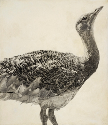 Great Bustard I / Otis tarda / 2010 / 70 x 60.5 cm / Pencil on panel