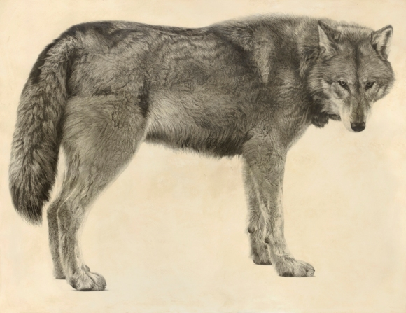 Grey Wolf II / Canis lupus / 2012 / 120 x 156 cm / Pencil on panel