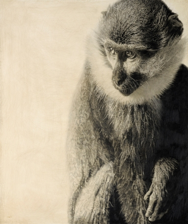 L'Hoest's Guenon I / Cercopithecus lhoesti / 2011 / 60 x 51 cm / Pencil on panel